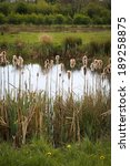 Bulrushes Reedmace Typha...