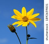 Yellow Flowers Of A Topinambur...