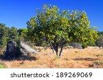 Fig Tree In Cadalso De Los...