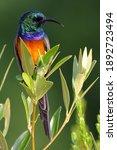 Orange Breasted Sunbirds On...
