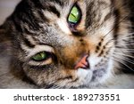 Maine Coon Black Tabby Cat Wit...