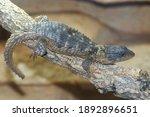 Small photo of Portrait of a Rhodesian girdled lizard, Cordylus rhodesianus resting on piece of wood