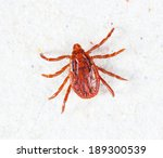 Close Up Male Rhipicephalus...