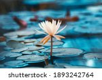 Bright White Water Lily Close...