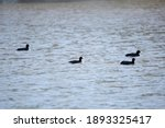 Four Duck Flock Of American...