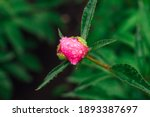 Bud Of A Bright Pink Peony With ...