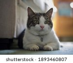 Tabby Cat Resting At Home