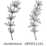 thyme branch in black with... | Shutterstock .eps vector #1893511141