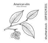 american  or water elm  ulmus... | Shutterstock .eps vector #1893529201