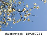 White Flowering Dogwood Tree ...