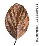 Autumn Dried Leaf  Sear Brown...