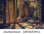 World Famous California Sequoia National Park Scenic Pathway Trail in the Sierra Nevada Mountains. Sequoiadendron Giganteum is the Sole Living Species in the Genus Sequoiadendron.  - stock photo