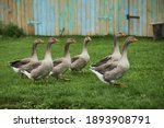 Domestic Geese Graze. Pets....