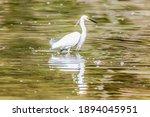 Snowy White Eastern Great Egret ...