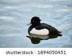 Tufted Duck Swimming In The Lake