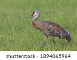 Sandhill Crane In Fairbanks...