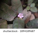 Hemigraphis Colorata Is A Herb...