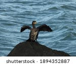 Cormorant Dries Its Wings By...