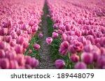 Flower Field Of Pink Tulips