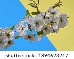 Branch Of Blooming Wild Plum...