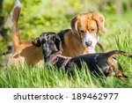 Stock photo beagle and dachshund playing together in grass 189462977