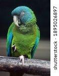 Blue Headed Macaw  Primolius...