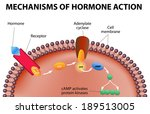 Hormones bind to receptors on the plasma membrane. The hormone itself is the first messenger. Binding to the receptors activates a second messenger inside the cell (causes intracellular effects).