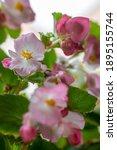 Flowering Branch Of Begonia...