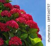 Red Flowers Of Hydrangea  ...