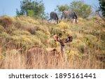 Curious Young Female Kudu...