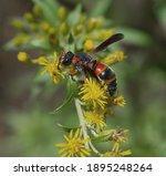 Red And Black Mason Wasp ...