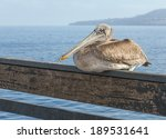 California Brown Pelican...
