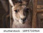 Cute Brown And White Kangaroo's ...