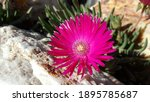 Pink Iceplant Flowers With...
