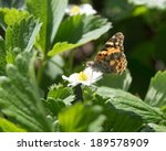 Small photo of Macro of a Butterfly Cacyreus marshalli on a strawberry flower