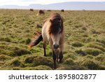 Beautiful Icelandic Horse With...