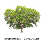 Small photo of Acacia mangium, common names include Black Wattle, Hickory Wattle, Mangium, and Forest Mangrove, tropical tree in the northeast of Thailand isolated on white background