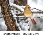 A Female Northern Cardinal In...