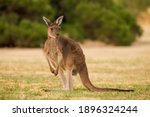 Australian Kangaroo Heirisson...