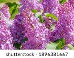 Lilac Bloom Sky Blue Spring....