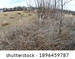 Cattail Reeds And Dry Plants In ...
