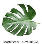 monstera leaf  tropical... | Shutterstock . vector #1896601261