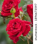 Close Up Of Beautiful Red Roses ...