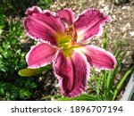 Blossom Colorful Daylily Flower ...