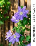 Blue Clematis In The Summer...