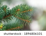 Fir Branches With Needles In...