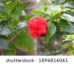 Red Chinese Hibiscus Blooming...