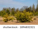 Afforestation. Young Firs...