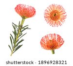 Pincushion Flowers Isolated On...