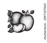 apples. engraving style apples...   Shutterstock .eps vector #1897107064